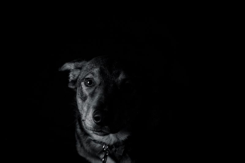 Hazel Grace Castro Puppy Love Puppy Dog One Animal Animal Themes Dog Animal Canine Mammal Domestic Animals Pets Copy Space Domestic Portrait Black Background Looking At Camera Vertebrate Studio Shot Indoors  Animal Body Part Animal Head  Close-up No People My Best Photo My Best Photo