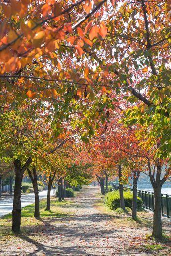大阪城公園東外堀の桜並木の紅葉 OSAKA Japan Osaka Castle Tree Leaf Autumn Branch Sunlight Rural Scene Deciduous Tree Change Sky Landscape