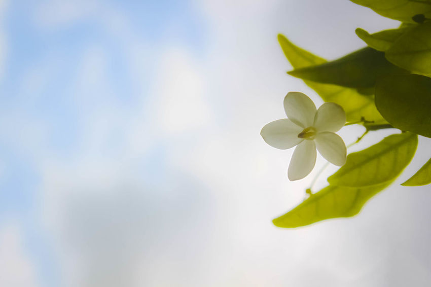 Beauty In Nature Close-up Cloud - Sky Day Flower Flower Head Focus On Foreground Fragility Frangipani Freshness Growth Leaf Moke Flower Nature No People Outdoors Periwinkle Petal Sky