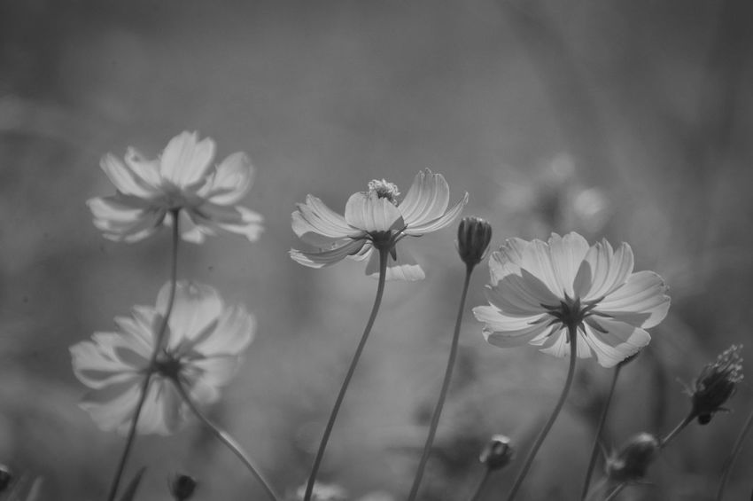 Nature Flower Beauty In Nature 秋桜 コスモス キバナコスモス Cosmos Monochrome Monochrome Photography