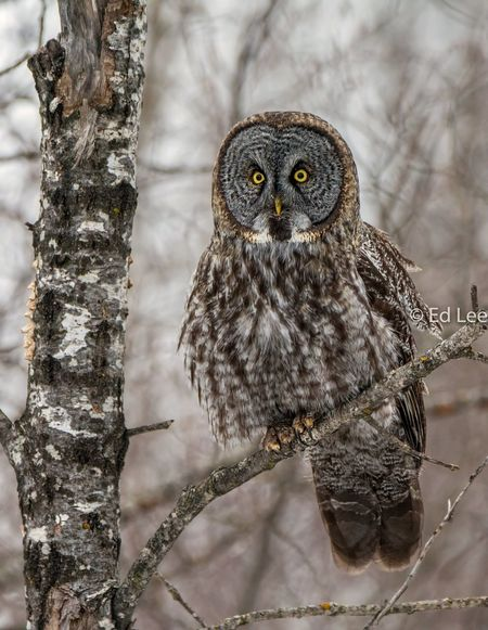 After lunch of three voles Greatgrayowl Streamzoofamily Malephotographerofthemonth Bird One Animal Animals In The Wild Animal Wildlife Owl Animal Themes Bird Of Prey Nature No People Perching Close-up Winter Beauty In Nature Tree Portrait Outdoors