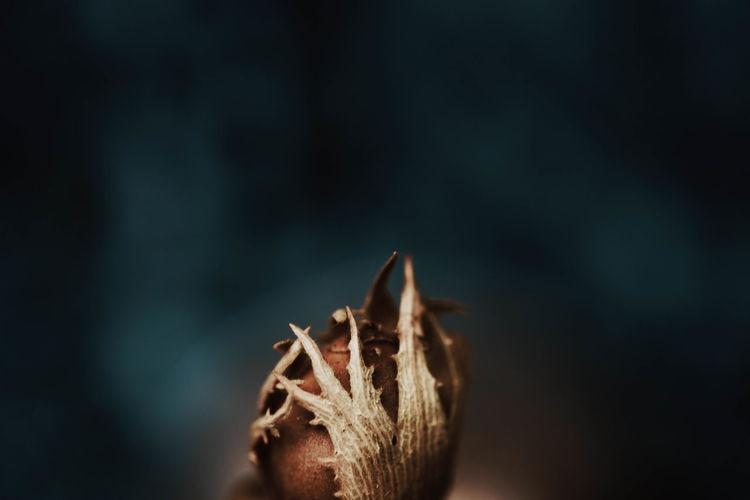 Close-up of hazelnut