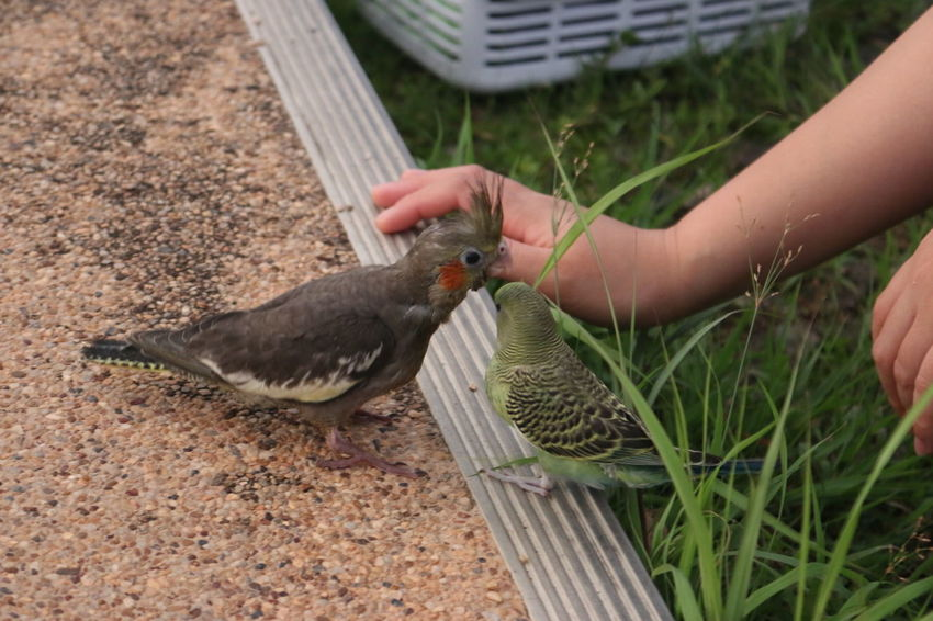 birds... Cockatiel Budgie Parakeet Melopsittacus Undulatus Nymphicus Hollandicus
