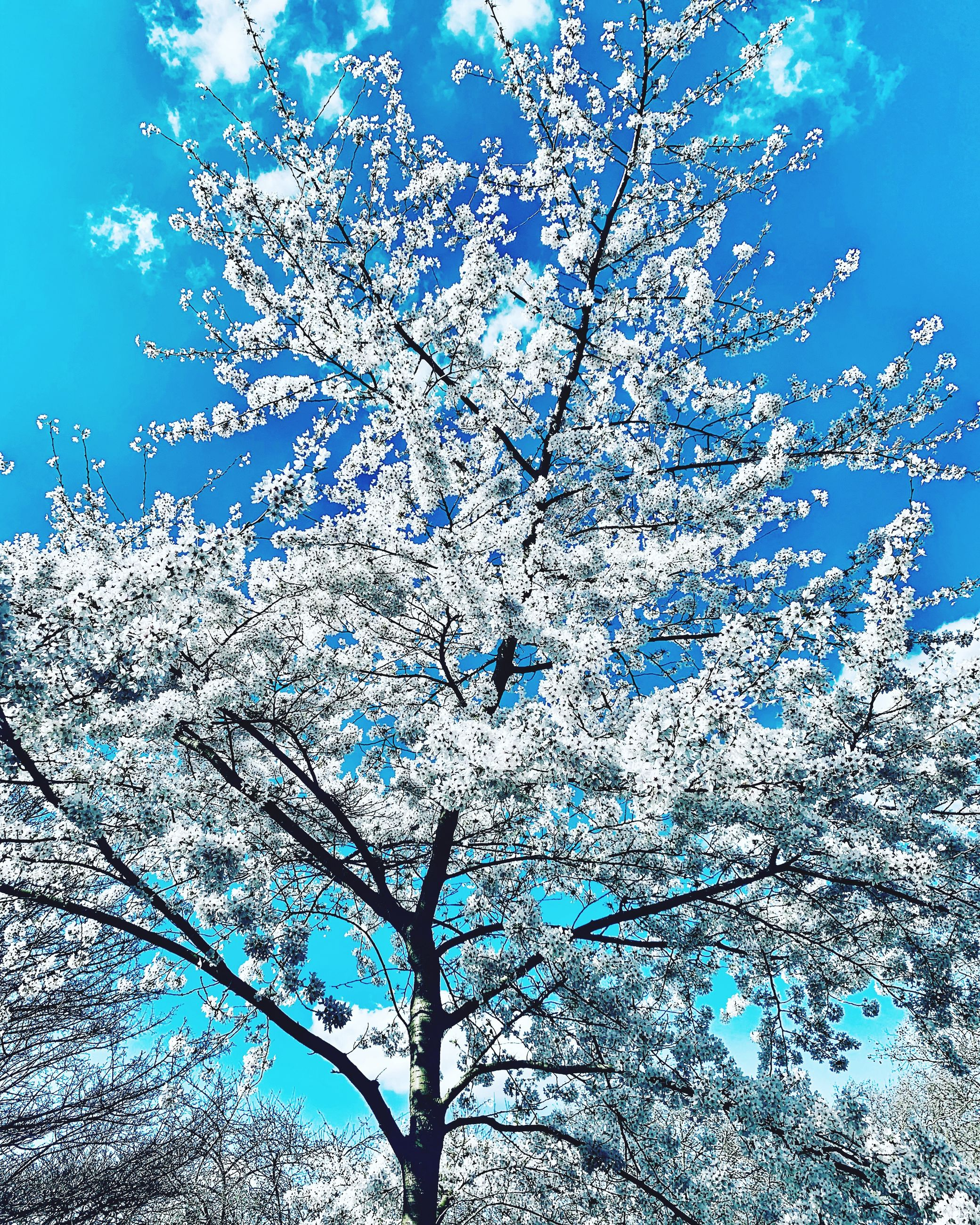 plant, beauty in nature, tree, blue, sky, nature, low angle view, branch, day, flower, no people, flowering plant, growth, outdoors, tranquility, white color, cold temperature, freshness, snow, winter, springtime, cherry blossom, cherry tree, spring