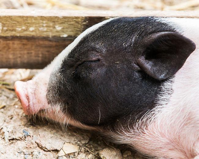 Close-up of a sleeping animal