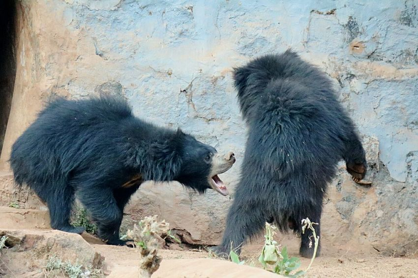 Bears Bear Bear Family❤ Bear Playing Playing Bear Life Chance Encounters Bhubaneswar,india Bhubaneswar Nandankanan Nandankanon My Year My View Uniqueness Live For The Story