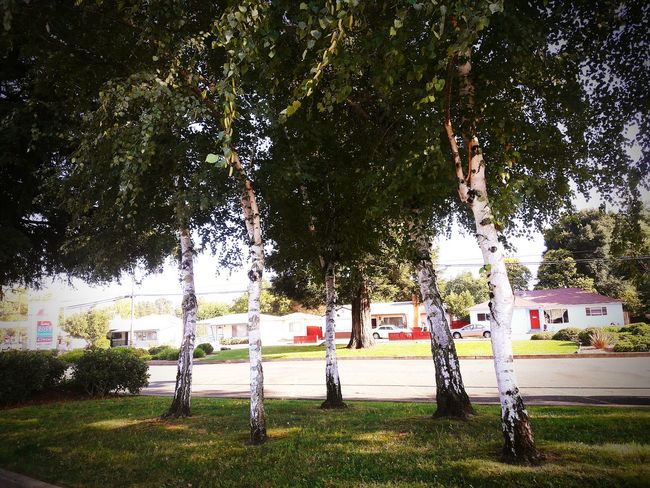 Tree Grass Park - Man Made Space Tree Trunk Green Color Growth Outdoors Day Park Nature Lawn Tranquility Tranquil Scene Green Growing