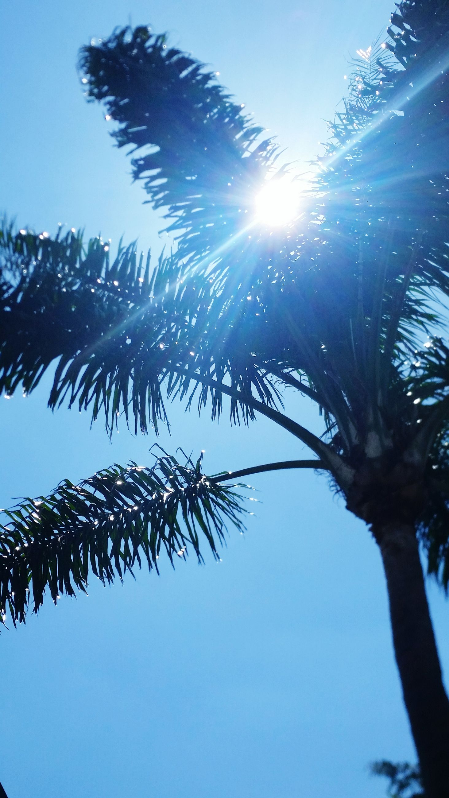 low angle view, tree, sun, clear sky, growth, sunlight, blue, branch, nature, tranquility, sunbeam, beauty in nature, palm tree, sky, lens flare, sunny, leaf, silhouette, tree trunk, day