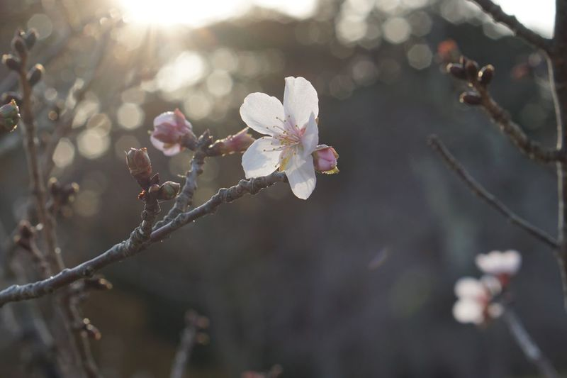 Winter Cherry Blossoms Plant Flower Growth Fragility Sunlight Branch Blossom Nature Freshness Outdoors Tree