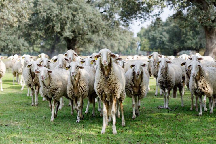View of sheep on field