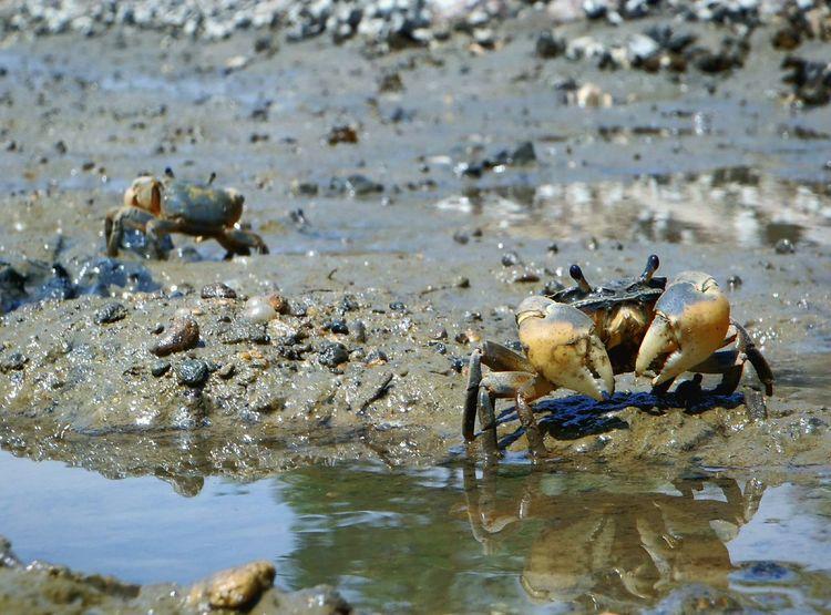 """アシハラガニ Crab Mudflat Nature Wildlife Decapod Crustacean (academic name is """"helice tridens"""") this crab lives in mudflat. They are omnivorovs creatures in there. Some Japanese angler use of fishing feeds. They are greatly outstanding species in the crab inhabiting the mudflat."""