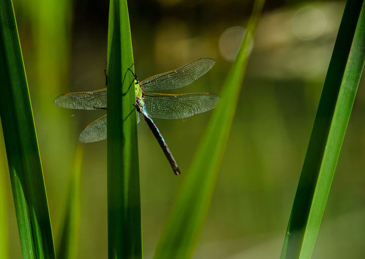 Blade Of Grass Bokeh Close-up Dragonfly Fragility Grass Blades Green Color Insect Nature Odonata Outdoors Serene Outdoors Serenity Wings Wings Spread