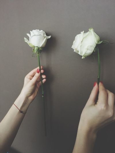 Cropped hands of woman holding white roses by wall