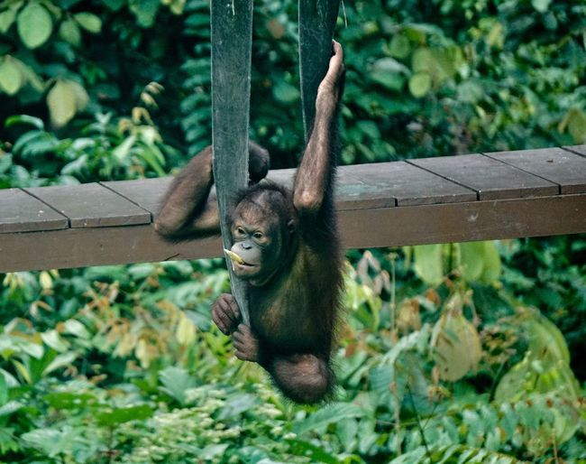 I'm just going to hangout Wildlifephotography Wildlife Roadtrip Travel Malaysia Rainforest Jungle Borneo Plant Tree Animal Themes Mammal Nature No People Outdoors