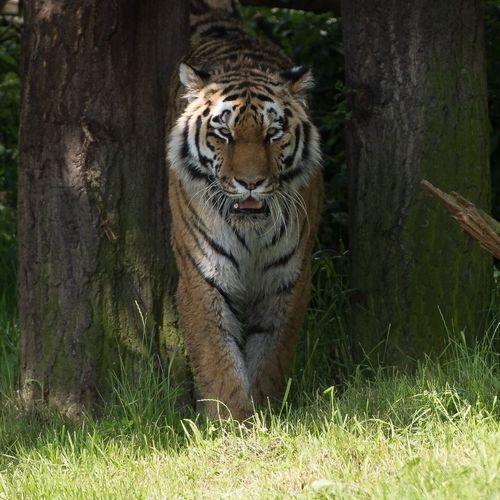 Tiger at