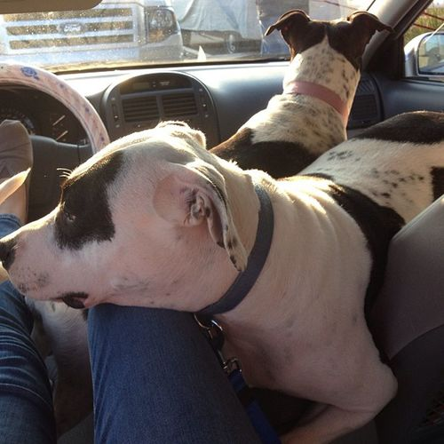 The girls kept fighting to sit on my lap. Little do they know they're about to get spayed. Hopefoundation Dogs