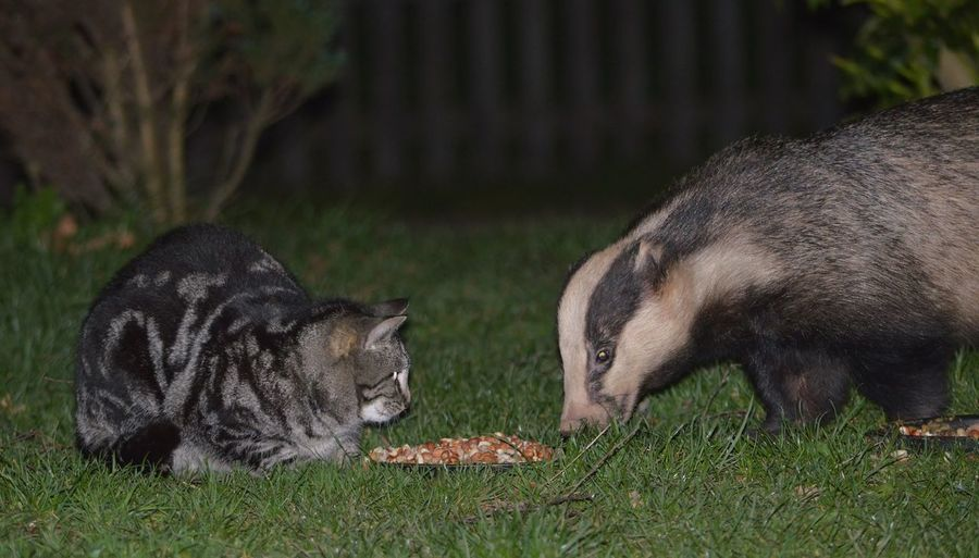 Dinner for Two ☺ Nature Animal Behavior Wildlife Badger Cat Wildlife Photography Animal Stopthecull