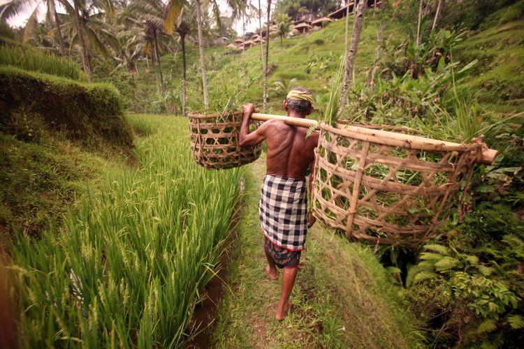 Farmer walking on rice paddy field