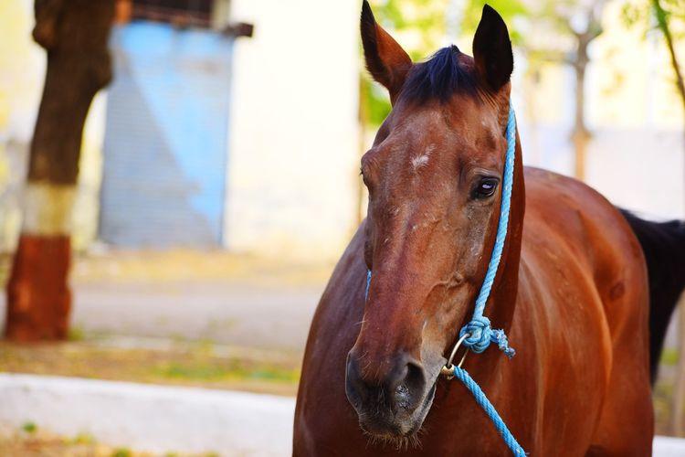 Horse Domestic