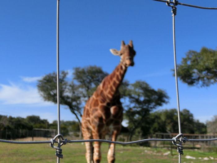 Animal Themes Animal Wildlife Animals In The Wild Day Domestic Animals Giraffe Mammal Nature No People One Animal Outdoors Sky Standing Tree