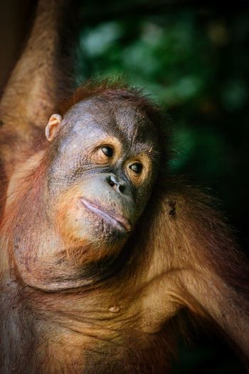 """Wistful"" Animal Wildlife Animals In The Wild Ape Close-up Looking Mammal Nature No People One Animal Primate"