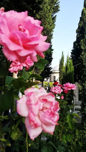 Green Garden Architecture EyeEm Nature Lover EyeEm Best Shots Nature Day Flower Head Flower Peony  Pink Color Tree Petal Close-up Plant Sky Wild Rose Rose Hip Single Rose Pale Pink Blooming In Bloom Cosmos Flower Coral Colored