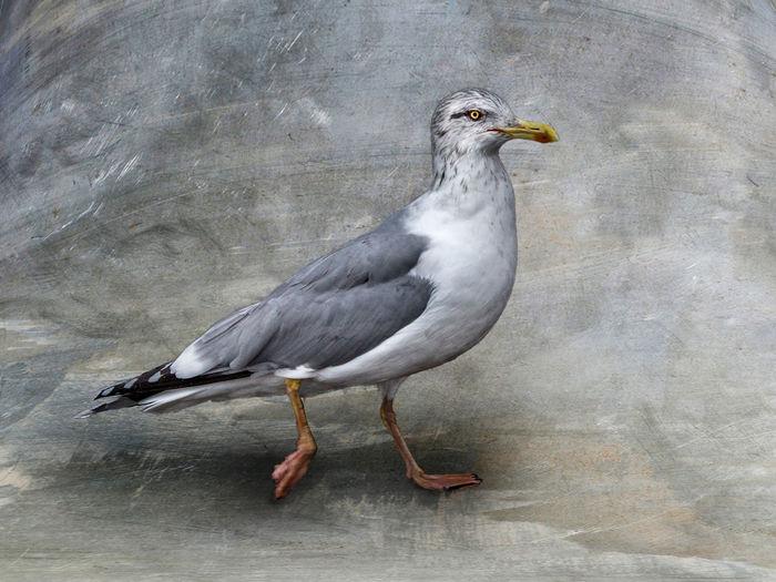 Animal Animal Themes ArtWork Bird Creativity Gull Gull Is Going No People