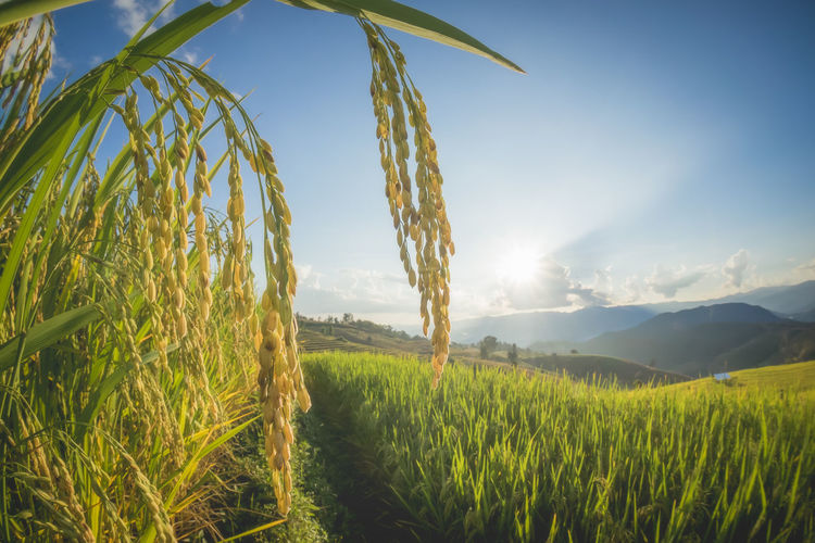 rice Agriculture Beauty In Nature Cereal Plant Crop  Cultivated Land Day Ear Of Wheat Farm Field Grass Green Color Growth Landscape Nature No People Outdoors Plant Rice - Cereal Plant Rice Paddy Rural Scene Scenics Sky Sunlight Tranquil Scene Tranquility