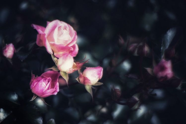Close-up of pink rose flowers