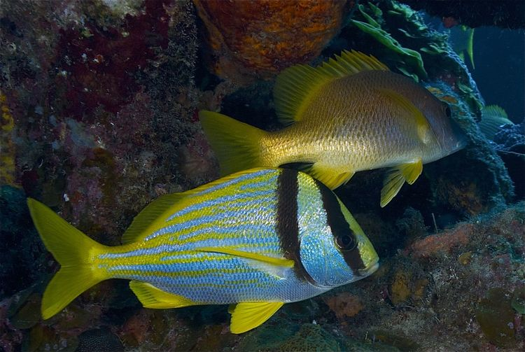 Anisotremus Virginicus Bahamas Nassau Animal Animal Themes Animal Wildlife Animals In The Wild Beauty In Nature Close-up Coral Fish Marine Nature Porkfish Reef Fish Reef Life Sea Sea Life Swimming UnderSea Underwater Vertebrate Water