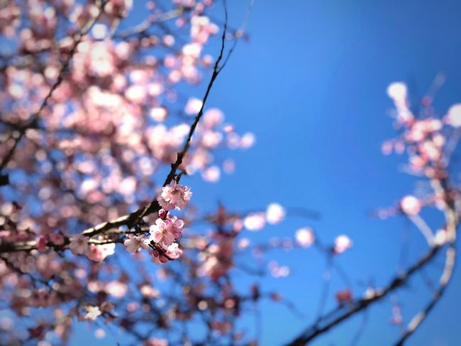 Flower Plant Tree Flowering Plant Branch Fragility Vulnerability  Focus On Foreground Beauty In Nature Nature Low Angle View Growth No People Blossom Sky Day Petal Freshness Close-up Springtime