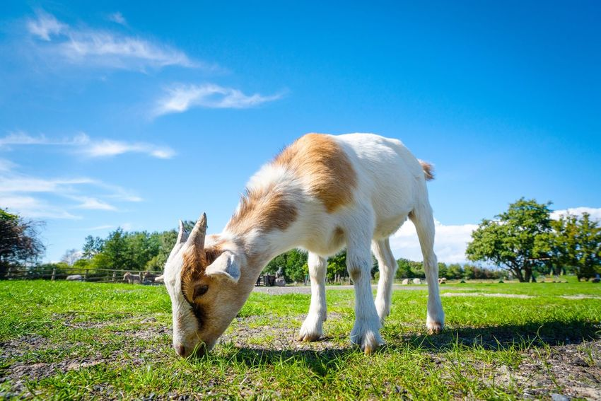 Young goat eating green grass in the summer on a rural field Grazing Eating Countryside Rural Summer Young Goat Mammal Animal Themes Animal Plant Grass Domestic Animals Sky No People Sunlight Land Nature Agriculture Pets One Animal Vertebrate Domestic Livestock Day Landscape Field