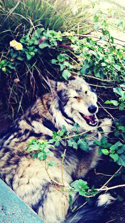 Mywolfdog Yawning Magical