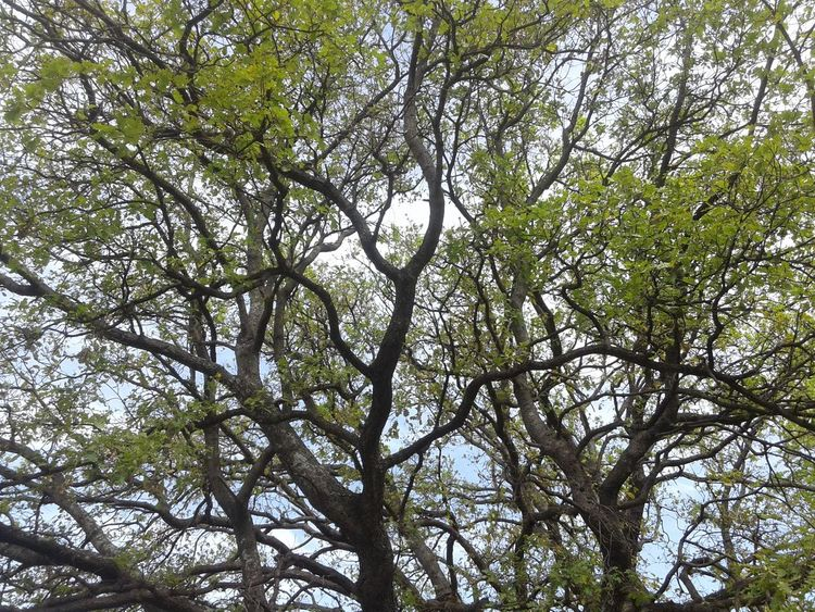Bluesky Branches And Sky Contortion Green Nature Naturelovers Photography Sunnyday