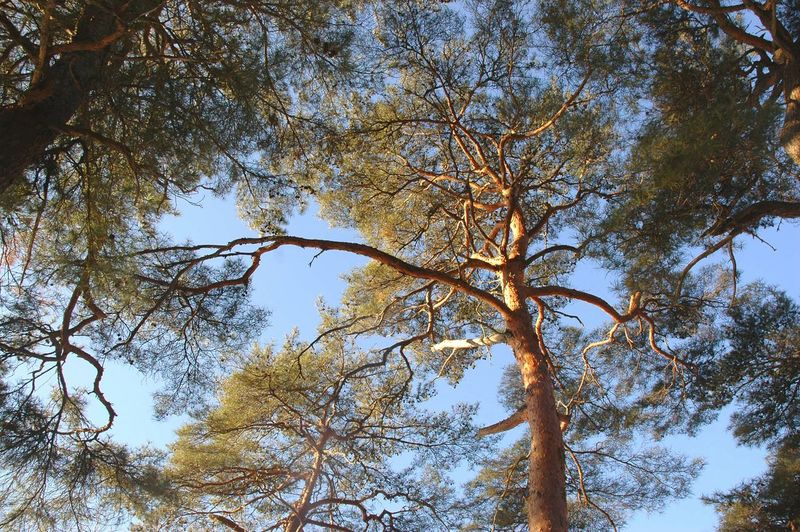 Pine Tree 소나무 Tree TreePorn Tree And Sky EyeEm Nature Lover