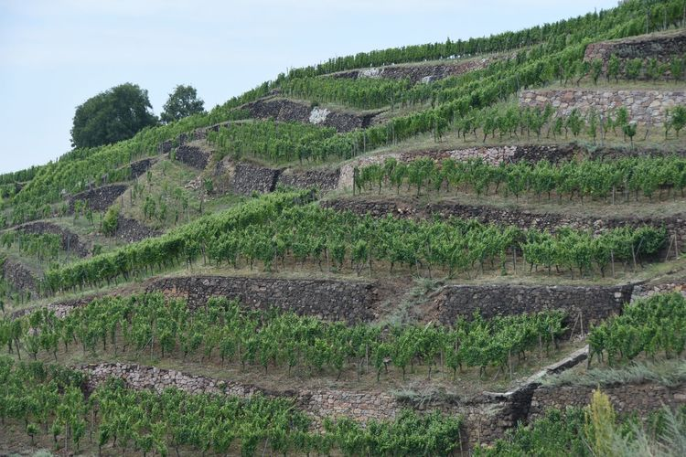 Low angle view of vineyard on mountain