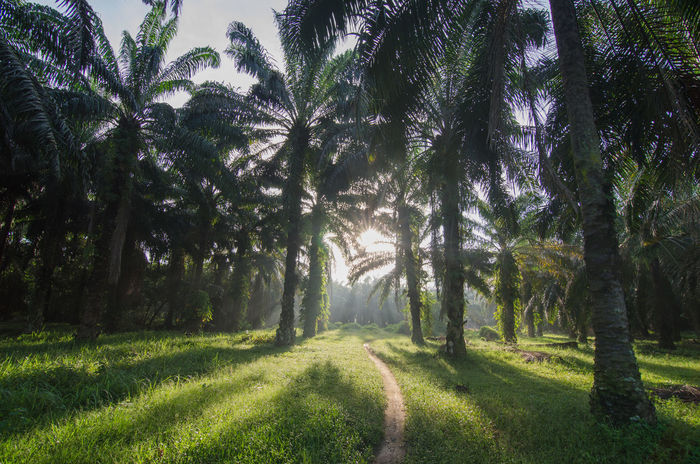 Oil palm estate with back light in the morning. Shadow of oil palm tree can be seen. Morning Palm Tree Ray Beauty In Nature Day Field Grass Green Color Growth Landscape Leading Nature No People Oil Pump Outdoors Palm Tree Scenics Sky Sunlight Tranquil Scene Tranquility Tree Tree Trunk