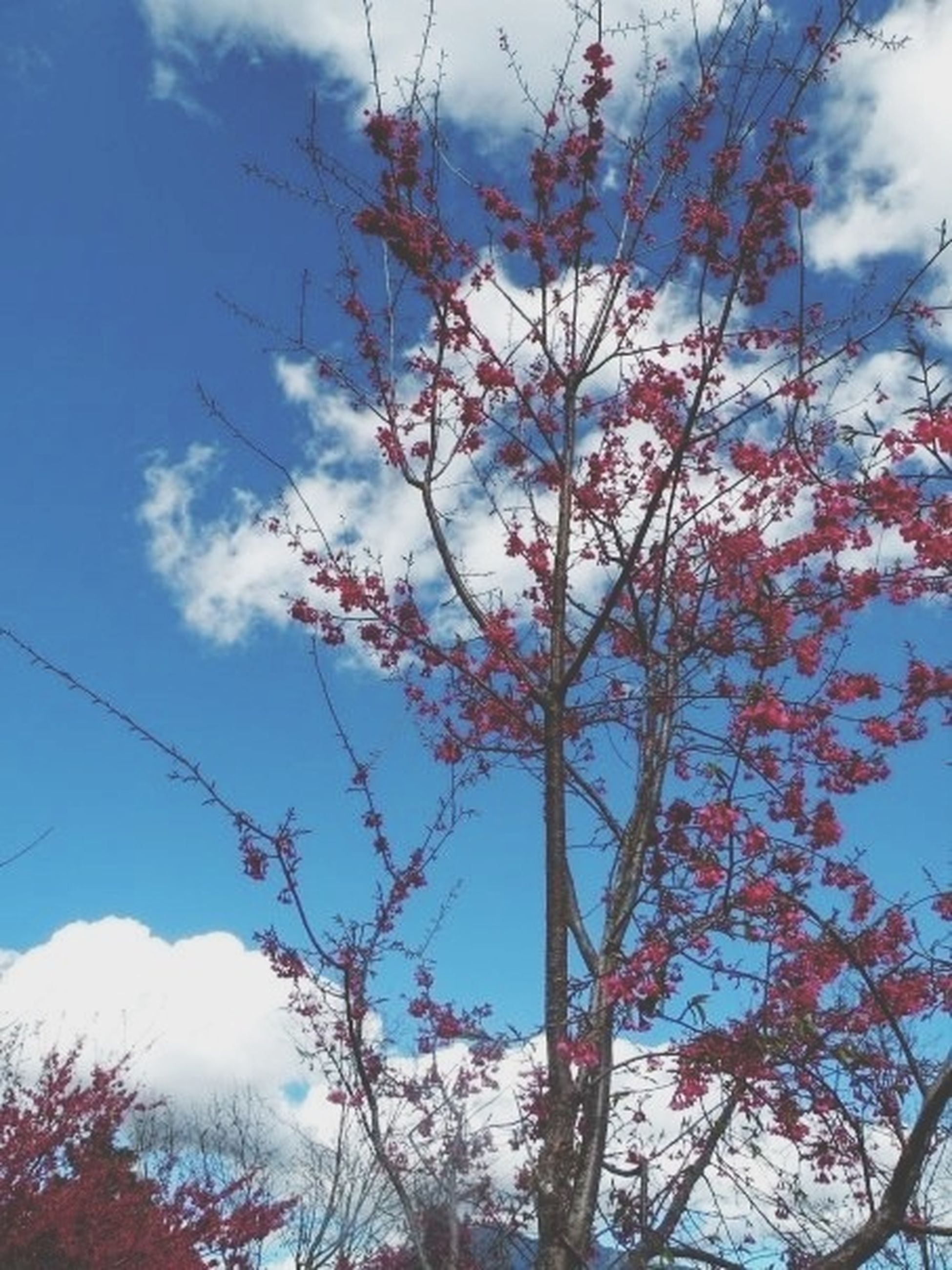 low angle view, tree, flower, branch, sky, growth, beauty in nature, nature, pink color, freshness, cloud - sky, blossom, fragility, blue, cherry blossom, day, cherry tree, outdoors, no people, in bloom