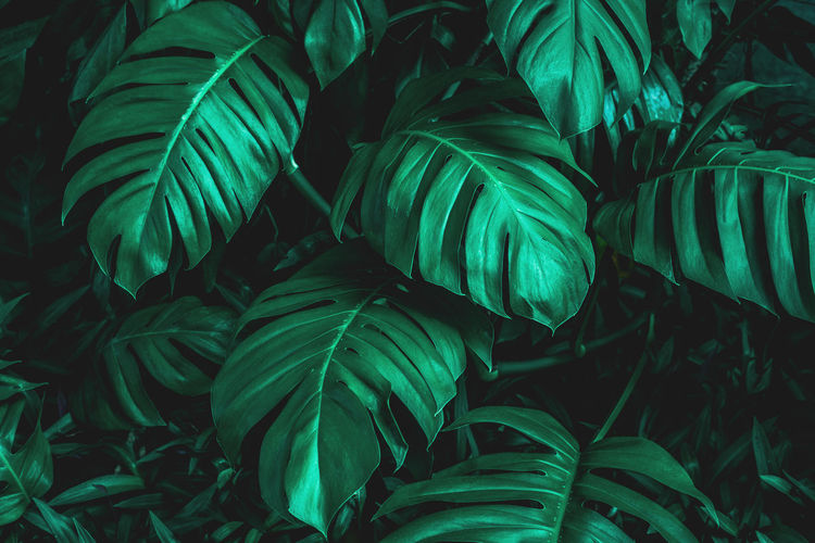 Closeup monstera leaf background, tropical leaf, abstract green leaf texture