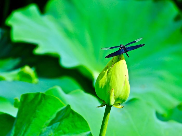 Subject : A Butterfly Dragonfly Perching on Top of a Lotus Bud. Beauty In Nature Animal Themes Animals In The Wild Animal Wildlife One Animal Insect Dragonfly Violet Color Plant Lotus Leaf Green Color Flower Flower Head Fragility Growth Freshness Day Outdoors No People Close-up Focus On Foreground . Taken at Kurose in Higashi-Hiroshima on Aug. 13, 2017 ( Submitted on Aug. 21, 2017 )