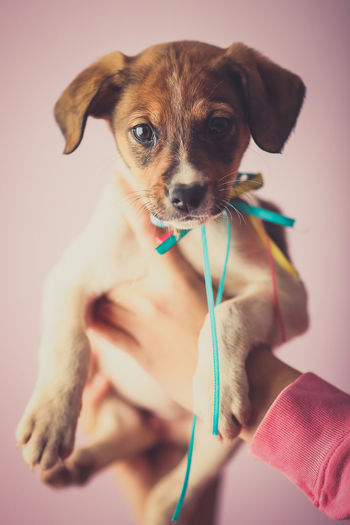 Cropped image of hand holding puppy against pink background