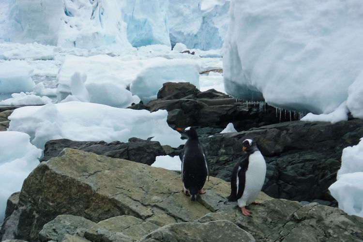 Penguins on rock by glacier