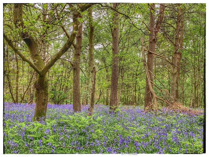 Bluebell wood Bluebells In The Woods Bluebells Woodland Walk WoodLand Plant Growth Tree Transfer Print Beauty In Nature Auto Post Production Filter No People