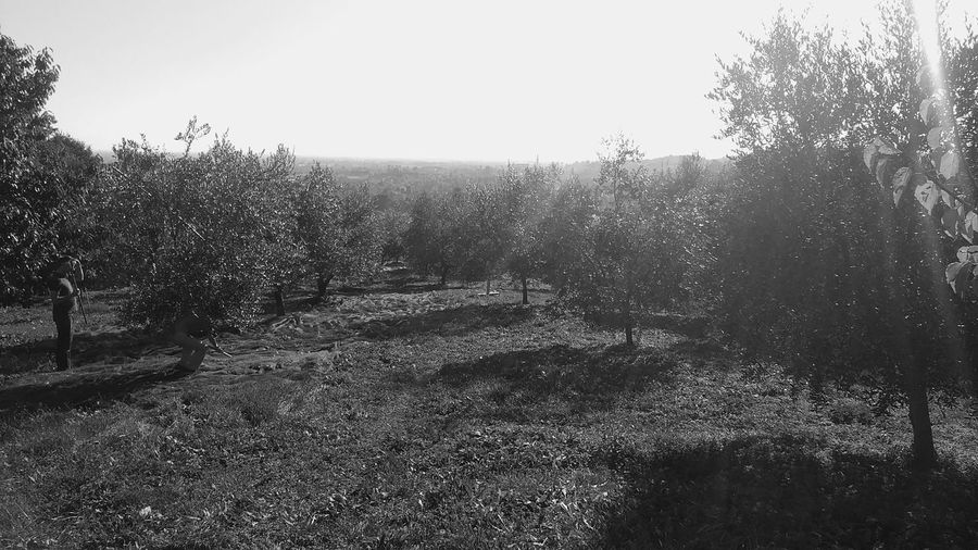 Beauty In Nature Clear Sky Day Growth Nature No People Outdoors Sky Tree Olivetree Olives Olive Tree Olive Trees Fieldscape Fields Photography Fields And Hills Black And White Photography Veneto Italy Hills Hill Hillscape Agricolture Grassfield Trees_collection Blackandwhite Photography