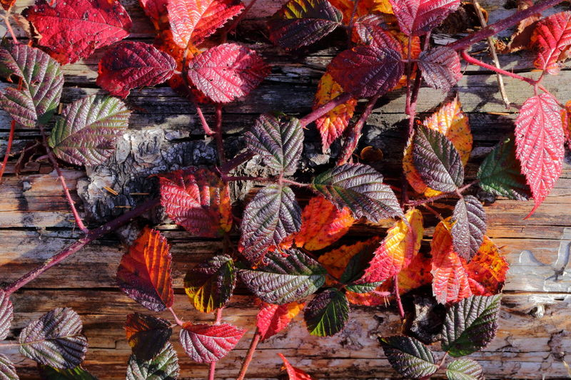 Natural Pattern Still Life Autumn Brombeerblätter Colorful Red Leaves Red Color Purple Leaves Autumn Leaves Hello World EyeEm Nature Lover Beauty Of Decay Transformation Change Leaf Abundance Backgrounds Wood - Material Multi Colored Variation Medicinal Plant Chaotic Order Rubus Collective