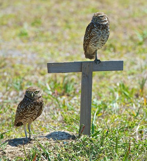 Animal Themes Animal Wildlife Animals In The Wild Beauty In Nature Bird Bird Of Prey Burrowing Owls Close-up Day Focus On Foreground Grass Nature No People Outdoors Owl Perching Wooden Post