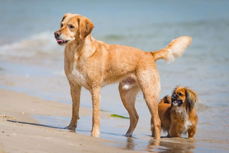 Dog Pets Domestic Animals Water Animal Themes Golden Retriever Wet Mammal Beach Lake Sand Outdoors Day No People