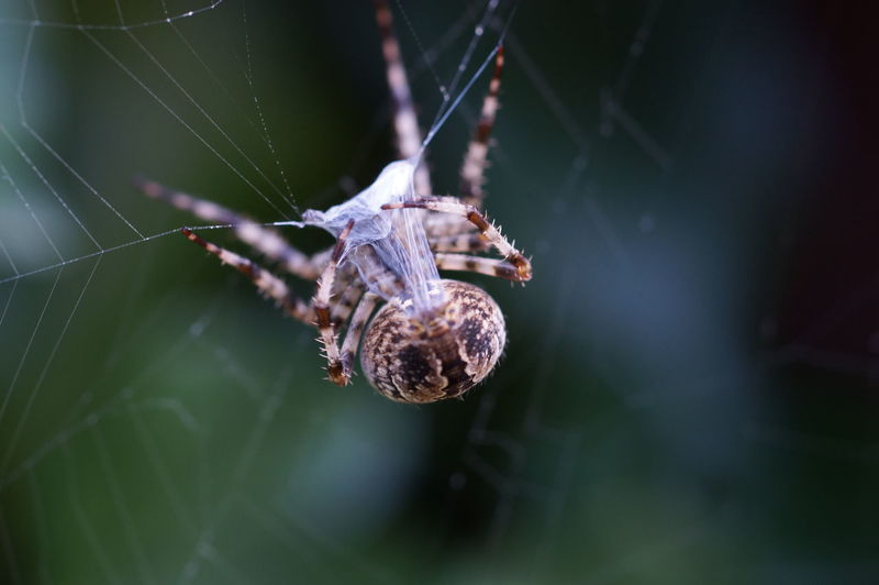 Animal Animal Body Part Animal Leg Animal Themes Animal Wildlife Animals In The Wild Arachnid Arthropod Close-up Day Focus On Foreground Fragility Insect Invertebrate Nature No People One Animal Outdoors Selective Focus Spider Spider Web Vulnerability  Web