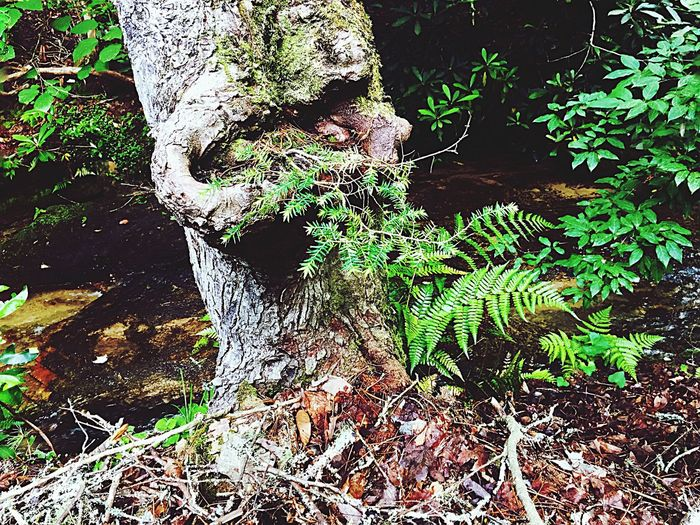 Talking Tree Tree In Forest Tree Trunk Tree By Stream Tree By Mountain Stream
