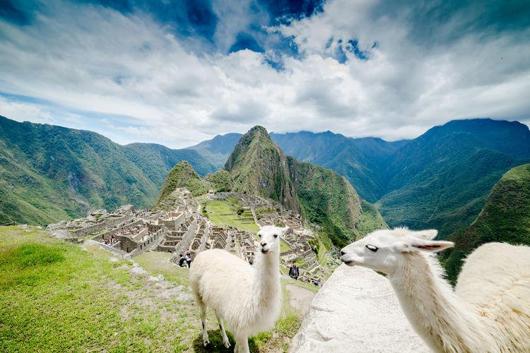 Llamas on machu picchu against sky